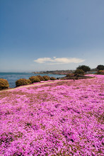 Colorful Pink Iceplant On The Pacific Ocean Coastline In Pacific Grove, CA.