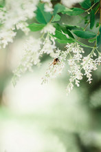 Insect Drinking Pollen From Ligustrum Flowers On The Shrub