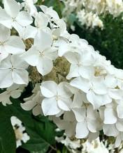 White Oakleaf Hydrangea Flowers