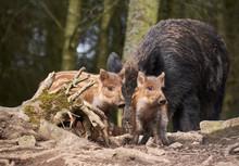 Baby Boar Piglets Running Through Woodland. Yorkshire, UK.