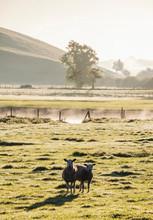 Sheep And Mist At Sunrise. Hawes, North Yorkshire, UK.
