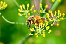 A Honey Bee (Apis Mellifera) S...