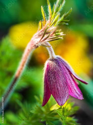 Obraz Kwiat wiosennej sasanki w ogrodzie - zbliżenie - fototapety do salonu