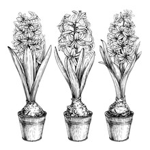 Set Of Vector Illustration Hyacinths In Pots. Isolated On White Background.