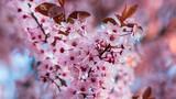 Fototapeta Kwiaty - Wiosenne różowe kwiaty na drzewach oświetlone słońcem
