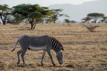Grevy Zebra In Freier Wildbahn