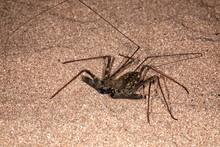 Tailless Whip Scorpion (Damon ...