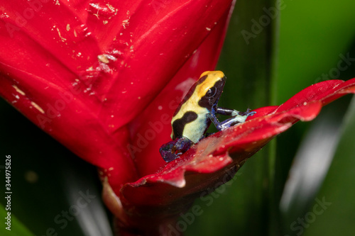 Cute Patricia Tinctorius Dart Frog  in Lilly Canvas Print