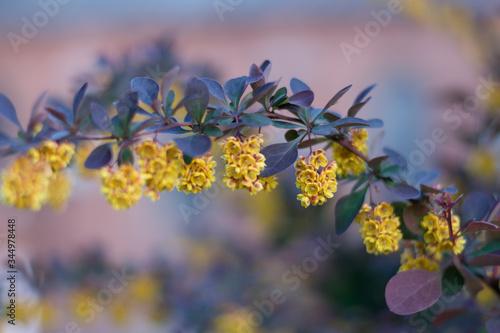 gałązka z żółtymi kwiatami Obraz na płótnie