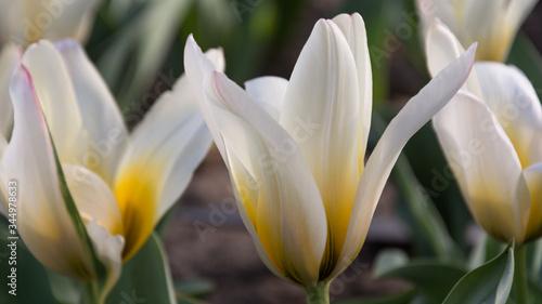 Obraz zbliżenie żółto-białych tulipanów - fototapety do salonu