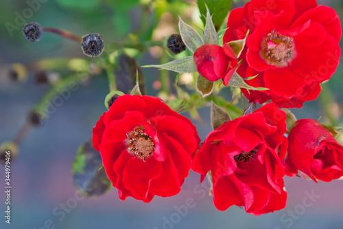 Obraz Zbliżenie na kwiaty dzikiej róży. Czerwone kwiaty, srebrne tło. Bukiet. Lato.  - fototapety do salonu