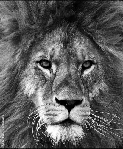 Portrait of beautiful African lionin black and white
