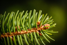 Norway Spruce Tree Branch With...