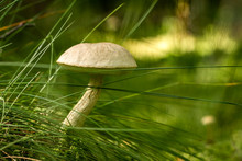 Wild Mushroom Grows In Green G...