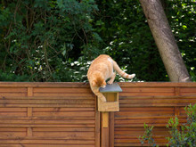 Redhead Cat On The Roof Of The Birdhouse Looking For Birds In The Background Of Green Trees