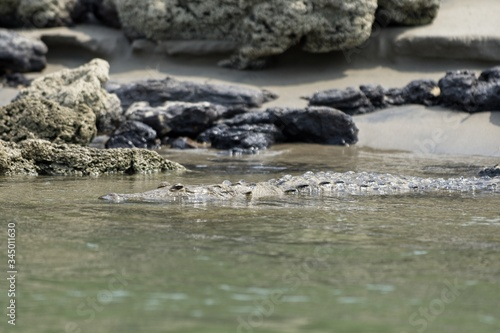 Selective focus shot of a wonderful American alligator swimming in the river Canvas Print