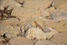 Selective Focus Shot Of Maltese Wall Lizard In Maltese Islands, Malta On A Sandy Rock On A Daylight