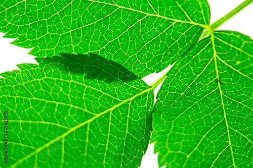 Photo green fresh leaves in macro approximation, the concept of nature and naturalness