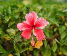 Pink Hibiscus Flower, Panama, ...