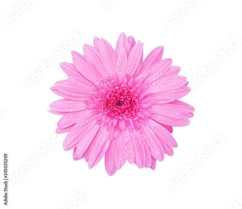 Colorful flower top view pink gerbera or barberton daisy  blooming with water dr Canvas Print