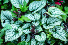 Brunnera 'Jack Frost' In The G...