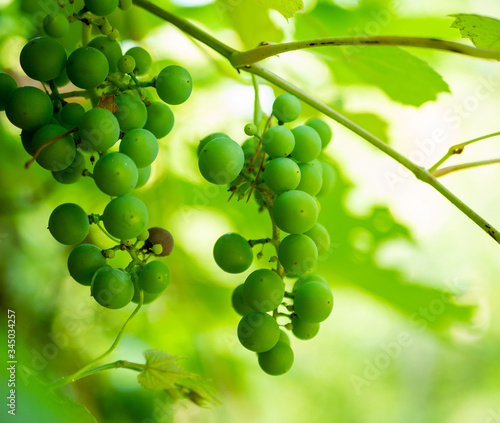 Clusters of green grapes on the vine in close up backlit view with shadows and narrow depth of field.