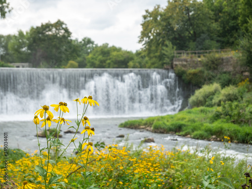Fotografie, Tablou Yellow black eyed susan flowers amidst green foliage with a waterfalls and river in the background