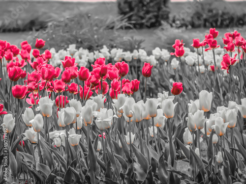 Fototapeta Multicolor Tulips Blooming Outdoors obraz na płótnie