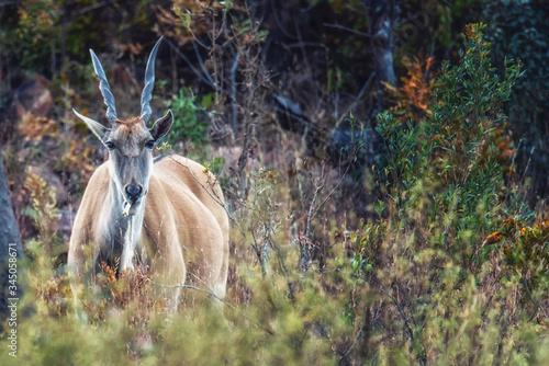 Foto A common eland (Taurotragus oryx) antelope