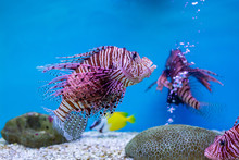 Red Lionfish - One Of The Dang...