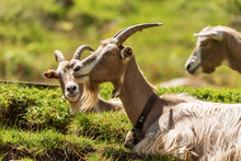 Group Of Three Mountain Goats ...