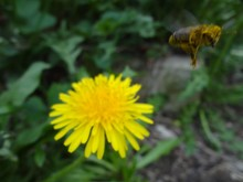 A Flying Bee Carries Pollen Co...