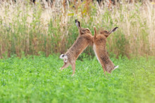 Boxing Hares Close Up In Crop Field