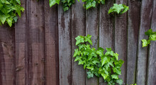 Ivy On The Fence