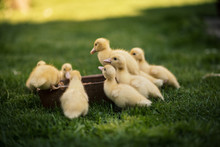 Ducklings On A Grass In The Garden, Drinking A Water. Cute Baby Ducks In Small Breeding. Concept Of Farming.