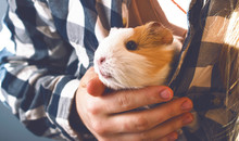 The Owner Keeps A Guinea Pig. ...