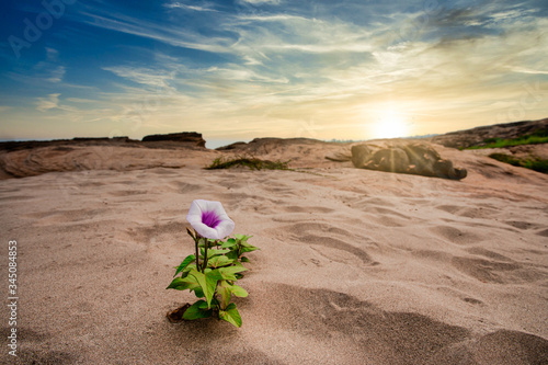 Photo Morning glory that grows only on the sandy ground, blooming purple in the summer