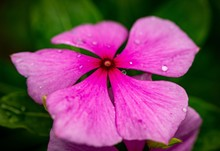 Closeup Shot Of A Beautiful Pink Periwinkle With Dew On Petals