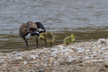 A Canada Goose And Its Two Young Goslings Preening At The Edge Of A River.