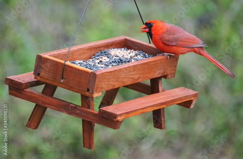 A red male cardinal eating seeds on a wooden bird feeder Fototapet