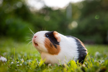 Guinea Pig Enjoys In Grass
