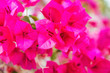 canvas print picture - Beautiful pink flowers of bougainvillea blooming in tropical garden. Can be used as floral background