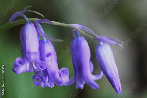 Photo La jacinthe des bois nommée Hyacinthoides non-scripta d'un bleu violet