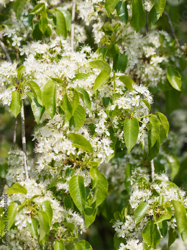 Magnifique floraison printanière blanche et parfumée du cerisier de Sainte-Lucie Wallpaper Mural