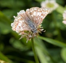 Commen Checkered Skipper Butterfly Feeding On A White Clover Flower