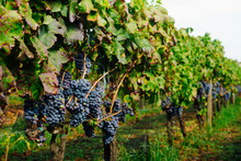 """Rows Of Grape Vines With Leaves – Italian Vineyard On Mount Etna, Sicily – """"Nerello Mascalese"""" DOC Wine"""