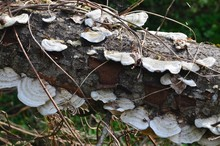 Group Of White Polypore Fungi Over A Wooden Trunk In A Wild Forest
