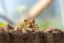European Mole Cricket (Gryllot...