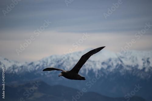 Albatross Kaikoura Slika na platnu