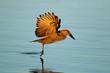 canvas print picture - A hamerkop bird (Scopus umbretta) in flight over water, Kruger National Park, South Africa.